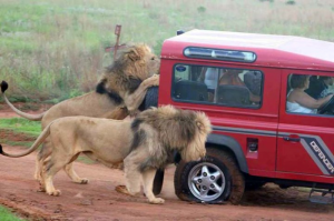 Lions chasing car with flat tire